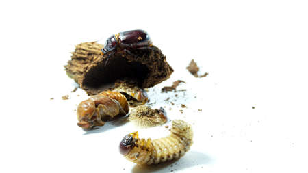 The Coconut Rhinoceros Beetle life cycle on white background. 免版税图像