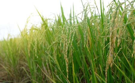Asian fresh organic Jasmine Rice in the green paddy rice field on beautiful sunlight background.Rustic and Countryside. Food,Agriculture,Nature landscape Concept.Copy space for text.