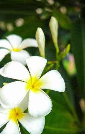 new age: Frangipani New Age in Summer