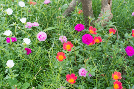 Pink Portulaca Common Purslane Asian Flower photo