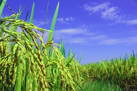 Rice fields Stock Photo - 14197637