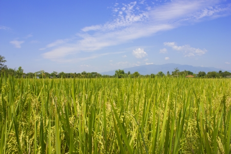 rice field and blue sky Stock Photo - 15335619