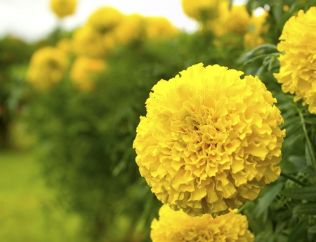 tagetes: The  flowers in the garden  park