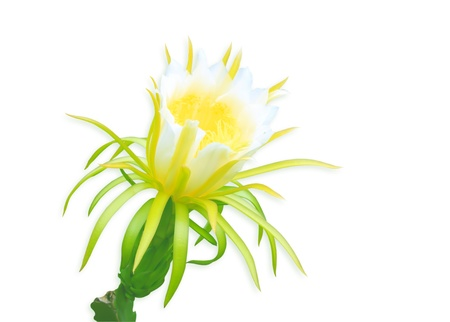 Dragon fruit flower isolated on white background photo