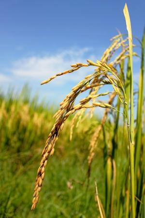 rice field Stock Photo - 15460196