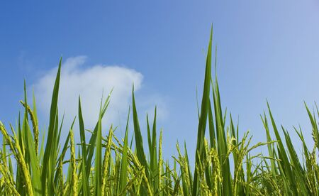 Rice field and blue sky background  Stock Photo - 15843951