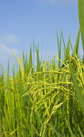 Rice field and blue sky background at asia,thailand Stock Photo - 15889456