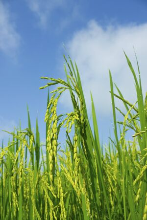 Rice field and blue sky background at asia,thailand Stock Photo - 15889452