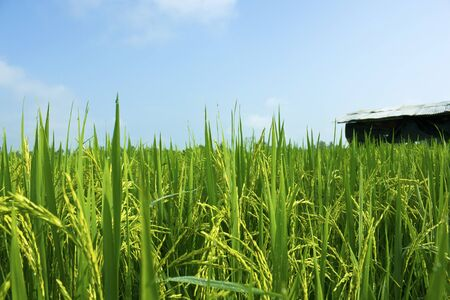 Rice field and blue sky background at asia,thailand Stock Photo - 15889454