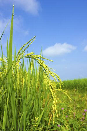 Rice field and blue sky background at asia,thailand Stock Photo - 15889457