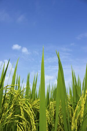 Rice field and blue sky background,asis,thailand Stock Photo - 16082177