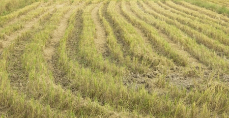 summer end morning rapes field background after harvest,asia,thailand Stock Photo - 16082185