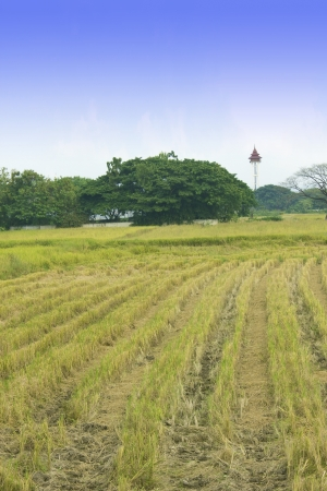 summer end morning rapes field background after harvest,asia,thailand Stock Photo - 16082180