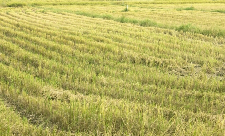 summer end morning rapes field background after harvest,asia,thailand photo