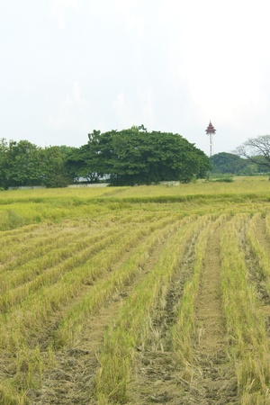 summer end morning rapes field background after harvest,asia,thailand Stock Photo - 16725035