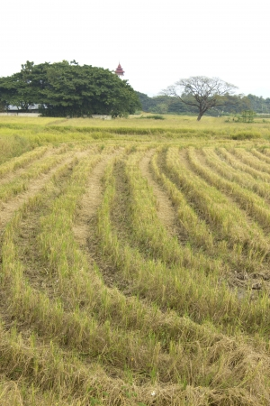summer end morning rapes field background after harvest,asia,thailand Stock Photo - 16725037