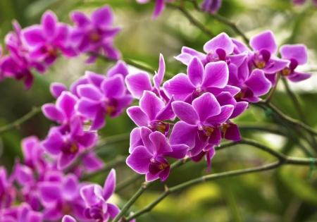 Violet orchid - phalaenopsis Hybrid photo
