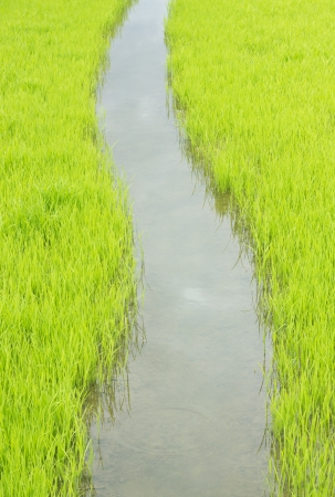 Rice field  Stock Photo - 21801639