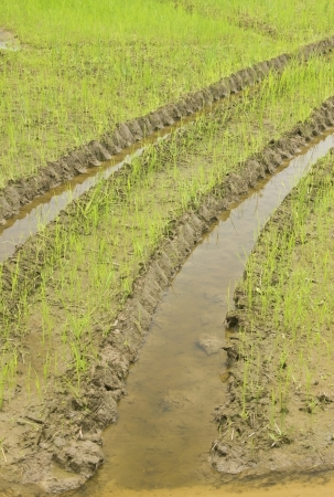 Print of a wheel of a tractor on the rice field Stock Photo - 21801640
