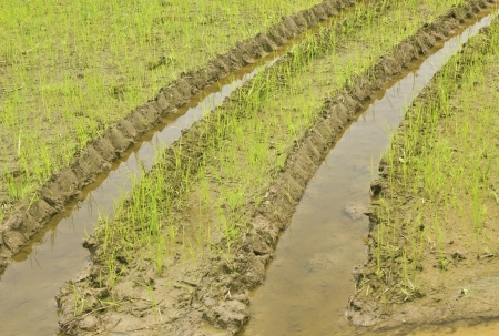 Print of a wheel of a tractor on the rice field Stock Photo - 21801641