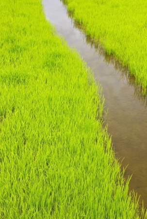 Rice field  Stock Photo - 21801649