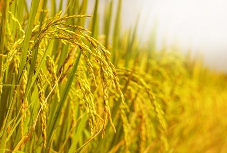 amarillo: campo de arroz