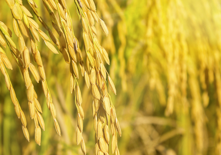 rice field Stock Photo - 37399680