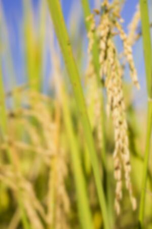 rice field at north thailand, concept blur rice field
