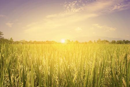 田んぼと北タイ、食品、自然の背景の日の出 写真素材