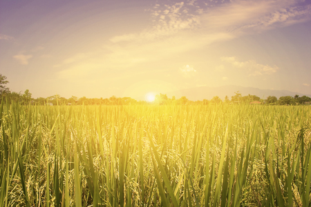 rice field and sunrise at north Thailand, nature food background