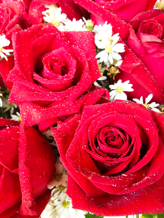 Red rose flower for valentine day background Stock Photo
