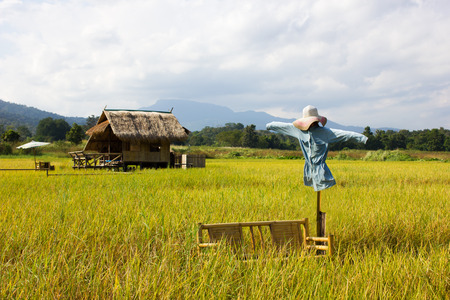 rice field and scarecrow in north Thailand, nature food landscape background.