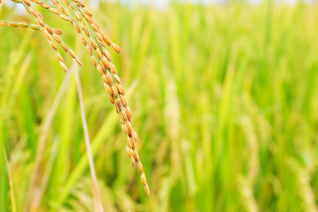 rice field in north Thailand, nature food landscape background.