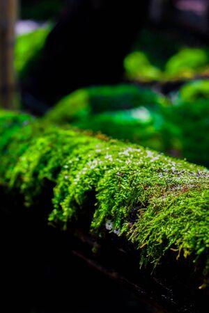 Green moss on the tree. Macro of moss on timber in rainy season. Stock Photo