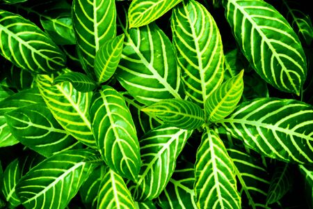 Green leaves background for wallpaper backdrop, Natural background, Green  leaf texture, nature dark green background.