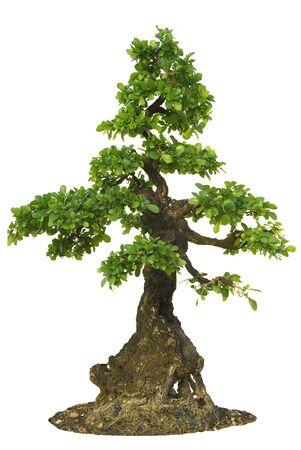 broadleaved tree: Isolated Fig Tree bonsai