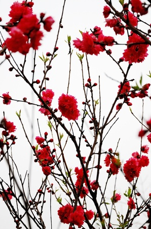 Peach red flowers photo