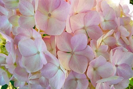 Beautiful flowers of light pink hydrangeas photo