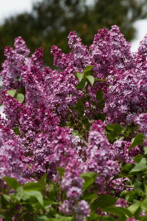 lila: Lilacs with green leaves and trees background unfocused