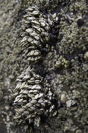 Barnacles clinging to a rock in the sea coast  photo