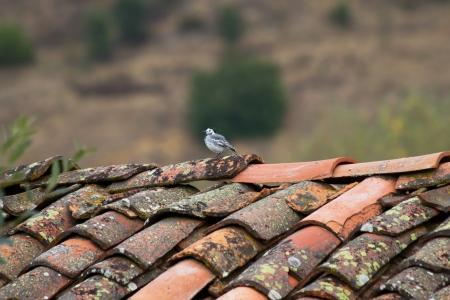 motacilla: Lavandera Bird o lavandera Motacilla alba en la parte superior de un viejo techo de Leon Espa�a Foto de archivo