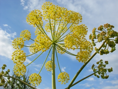 fennel plant with branches and bloom in yellow radial ball and others in the process of doing  With blue sky background Banque d'images
