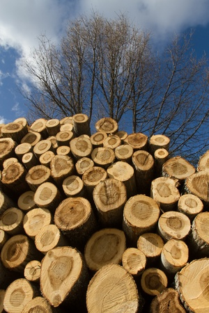 clave: Pile of logs sawn poplar with live trees Fund in winter Stock Photo