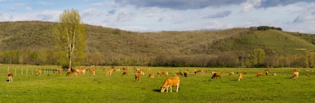 enclosures: Panoramic photograph of brown cows, grazing in green meadow, enclosures, and a lonely tree  Soto mountain river and hills in the background