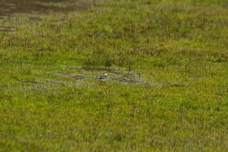 wagtail: Bird White wagtail  Motacilla alba  in a meadow and rainy day