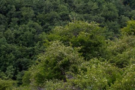 thorn bush: Wild Rose Bushes  Rosa canina  with oak forest background
