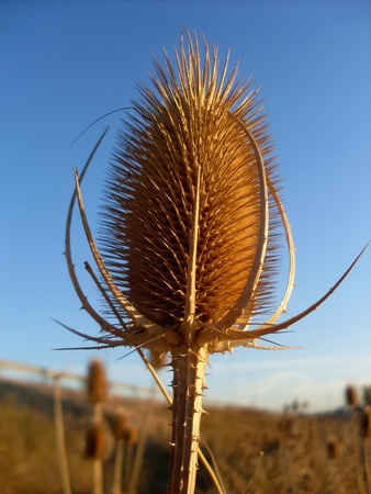 carding: dry thistles to the blue sky  Stock Photo