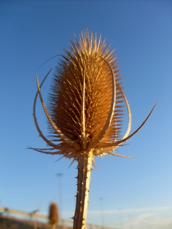 carding: dry thistle to the blue sky and setting sun  Stock Photo