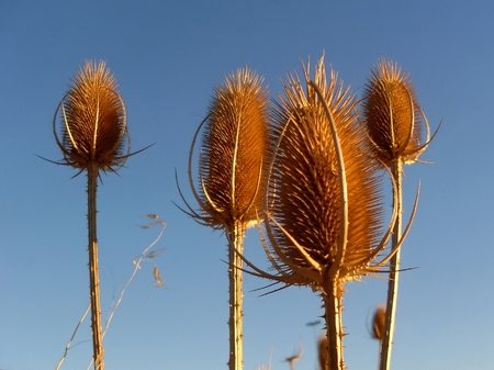 carding: dry thistles to the blue sky and setting sun