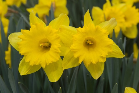 narcissist: pair of yellow daffodil flowers in garden  Stock Photo